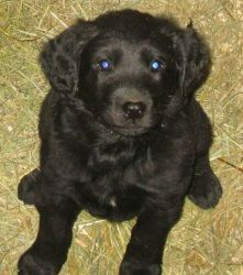 CHIP!!! is an adoptable Labrador Retriever Dog in Celina, OH. Chip is a 10 week old Lab/Golden mix. He looks like a black Golden Retriever and iis beautiful. Chip is very social and friendly, he loves...