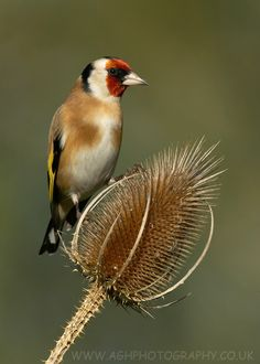 European Goldfinch sitting on a thistle. Photo by Anthony House.