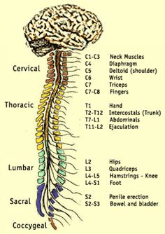 The Spinal Cord and Muscles