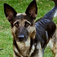 Beverly Hills, California - German Shepherd Dog. Meet KennedyID