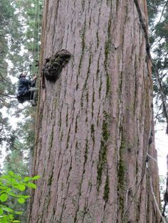 So You Want My Job: Tree Climber  Fun interview with climber tree climbing planet