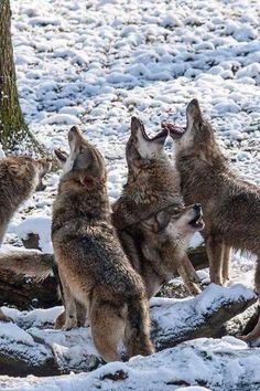 My son got to howl along with a wolf dog as part of his canine therapy. I can't explain it but it was strangely beautiful Wolf Images, Wolf Pictures, Animal Pictures, Beautiful Creatures, Animals Beautiful, Cute Animals, Malamute, Wolf Husky, Wolf Love