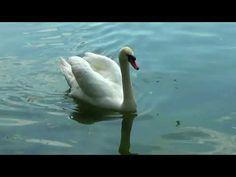 Lebede cu pui la păscut pe lac