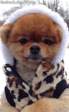 17 Ways Jiff The Pomeranian Celebrated The Holidays