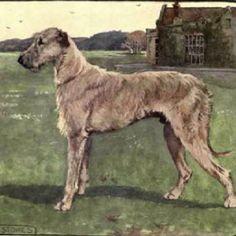 Irish Wolfhound - Go Big, Or Go Home <3