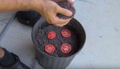 Remarkably Smart and Genius Way to Grow Tomato Seedlings