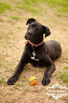 Black Great Dane Boxer Mix Puppies