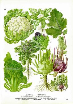 Broccoli Cauliflower Kohlrobi Calabrese Plant Flowers Food Chart Vegetable Botanical Lithograph Illustration For Your Vintage Kitchen 159
