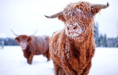 He is so incredibly cute!!! I want a highland cow.