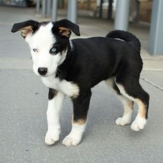 What to Expect from Beagle and Husky Mix : Beagle And Husky Mix Puppies. Beagle and husky mix puppies. Husky Puppies Mix, Husky Lab Mixes, Puppy Mix, Dog Mixes, Puppies And Kitties, Husky Puppy, Cute Puppies, Cute Dogs, Beagle Puppies
