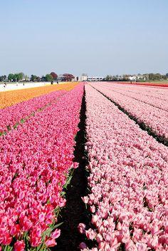 """Keukenhof, the """"garden of Europe"""" near  Lisse, Netherlands."""