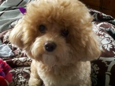 <3 my toy poodle