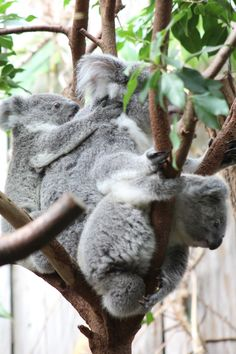 Duisburg Rare Animals, Animals And Pets, Koala Bears, Animal Magic, Australian Animals, Illustrations, Cute Funny Animals, Cuddle, Puppies