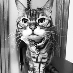 Ive only got eyes for you! You...and chicken of course!!! ... #bigeyes #mywhatbigeyesyouhave #blackandwhitephoto #blackandwhite #curious #staredown #monday #whiskers #heythere #ladybrennaoffairfax #cat #cats #catsofinstagram #catsagram #catsofworld #kitty #katzenworldblog #cats_of_instagram #catlover #bengal #bengalcat #bengalsofinstagram #bengal_cats #faithhopeloveandlucksurvivedespiteawhiskeredaccomplice #vais4bloggers #vafoodie #foodblog #foodblogger #virginia