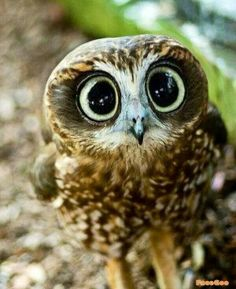 Incredibly cute Owl