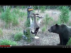 A Montana grizzly bear attempts to retrieve an electrically charged, road-killed deer. The deer is electrified as an experiment to protect hunters' game kill. Funny Animal Videos, Funny Animals, Funny Sites, Brown Bear, Outdoor Camping, The Great Outdoors, Lions, Kayaking, Montana