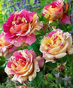 Rosa 'Candy Stripe' Flowers Garden Love