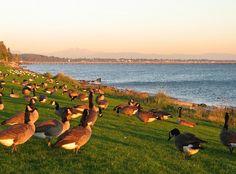 Geese on the Shore, White Rock, BC by Reg Natarajan, via Flickr  #whiterock #garymcgrattenrealtor Mc G, Surrey, British Columbia, Vancouver, Rock, Landscape, Search, Animals, Beautiful