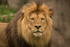 Watch: Oregon Zoo lion's tail severed in hydraulic door