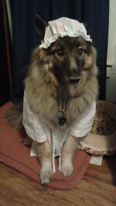 Big Bad Wolf/Grandma costume for a dog. This would be so cute with a little girl dressed as Little Red Riding Hood. Scary Costumes, Family Halloween Costumes, Pet Costumes, Halloween Fun, Awesome Costumes, Halloween Makeup, Costume Ideas, Wolf Costume For Dog, Big Bad Wolf Costume