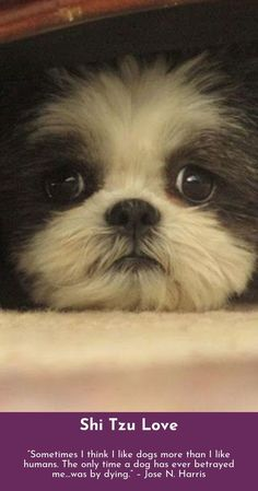 """Check out our website for additional details on """"shih tzu puppies"""". It is actually an exceptional spot for more information. Shitzu Puppies, Baby Puppies, Cute Puppies, Cute Dogs, Dogs And Puppies, Doggies, Puppy Mix, Puppy Play, Puppy Love"""
