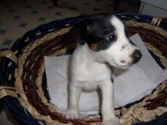 Chiot fox terrier poil lisse smooth lof