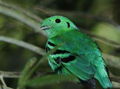 Grünkardinal: Vogel mit extravagantem Look — Bild: Shutterstock / rujithai    www.einfachtierisch.de