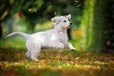 Gladword´s Touch My Soul Jamie – Golden Retriever – Hundefotografie Schweitenkirchen