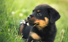 rottweiler puppies - Google Search