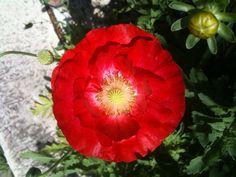 Red fancy poppy with yellow pollen, San Antonio, Texas.