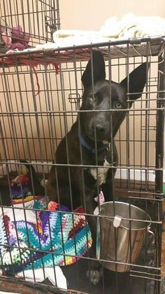 10/8/15 I love kids! Yep...that's right! I hope to be adopted into a loving family soon. If you are single, that is okey, I can be your very best friend. Please read my bio.Please adopt me soon! Buddy is an adoptable Shepherd, Husky Dog in Fort Worth, TX Buddy – 1 year old neutered shepherd mix. Vaccinated and microchipped as well! He does have a ... ...Read more about me on @petfinder.com