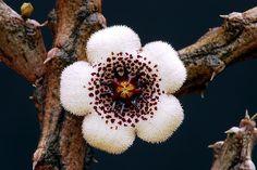 Stapelianthus arenarius by graftedno1, via Flickr