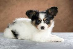 Cute small dogs: cutest dog breeds that stay small Small Fluffy Dog Breeds, Mini Dogs Breeds, Cutest Small Dog Breeds, Very Small Dog Breeds, Mini Puppies, Cute Animals Puppies, Cute Baby Animals, Cute Puppies, Teacup Puppies