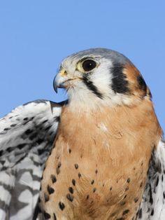 Male American Kestrel, Falco Sparverius, USA