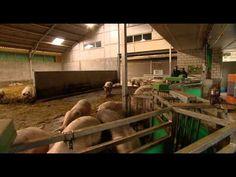 Varkens kijken bij zichtstal De Daltonhoeve / Weekend van het Varken