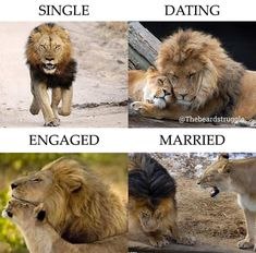Beautiful Lion, Girly Attitude Quotes, Beard Gang, Single Dating, Cat Memes, Funny Quotes, Humor, Cats, Animals