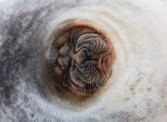 Ringed Seal - An Arctic Adventure in Spitzbergen by Ole Jørgen Liodden Canadian Animals, Cute Seals, Real Nature, Creature Comforts, Mundo Animal, Nature Animals, Sea Creatures, Spirit Animal, Pet Portraits