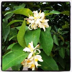 Meyers Lemon Blossoms Lemon Blossoms, Fruit Trees, Outdoor Spaces, Tattoos, Plants, Outdoor Living Spaces, Tatuajes, Japanese Tattoos, Outdoor Rooms