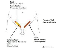 """Boundaries of Inguinal canal ( Note: Conjoint tendon i.e IOTA forms the """"roof"""" also contribution to medial of posterior wall ) Anatomy Study, Anatomy And Physiology, Surgery, Note, Education, Health, Fitness, Wall, Medicine"""