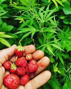 Căpșuni proaspete din recolta părinților. 🍓🍓🍓 #minunat