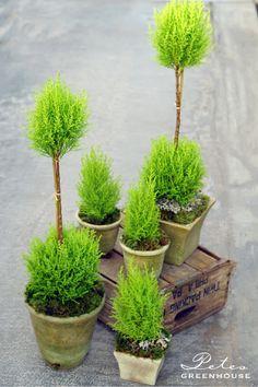 Lemon Cypress topiaries from Pete's Greenhouse