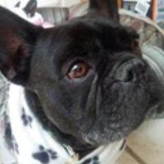 Frere is an adoptable French Bulldog Dog in Salt Lake City, UT. Frere is being fostered in Utah and will not be shipped. Applicants should be prepared to pick Frere up in person. For more information,...