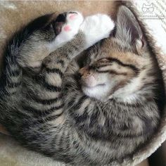 Click the Photo For More Adorable and Cute Cat Videos and Photos Cute Cats And Dogs, Baby Kittens, Cute Cats And Kittens, Cool Cats, Kittens Cutest, Gatos Cat, Cute Cat Gif, Beautiful Cats, Cute Baby Animals