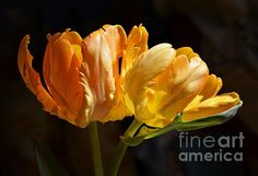 'Orange Parrot Tulips 1' by Fiona Craig available in various sizes and styles. The watermark does not appear on the actual print.