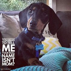 """272 Likes, 8 Comments - Dachshund Quotes & Pictures (@mydachshundfamily) on Instagram: """"Sorry...😂 . 📷 @freddy.dash"""""""