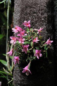 Dendrobium cuthbertsonii | Flickr - Photo Sharing!