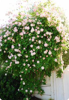Cecile Brunner climbing rose.