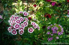 Ogrodnictwo od A do Z : Goździk brodaty - Dianthus barbatus