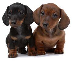 Dachshund Puppies - I want them!!!