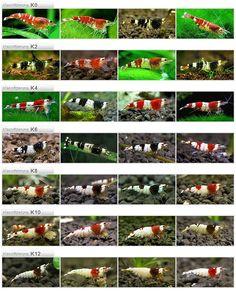 Artigo Aquaflux: Grades do Caridina cf. cantonensis e suas classificações • Autor: Olivier (Naska)